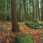 eastern white pine photo