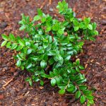 Evergreen Huckleberry
