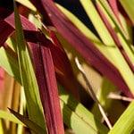japanese blood grass photo
