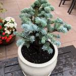 Abies lasiocarpa Alpine Beauty