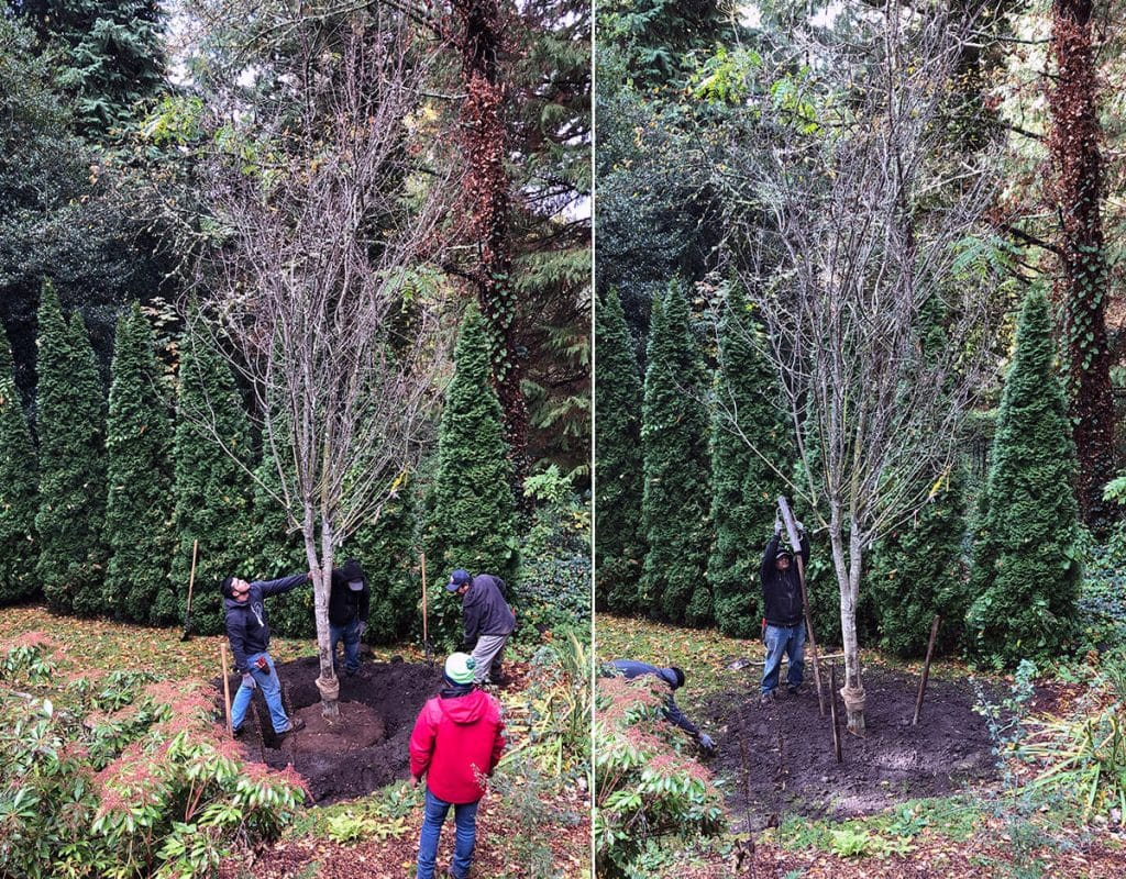 big tree placement and staking