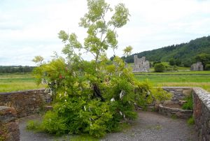 Fore Abbey Rag Tree