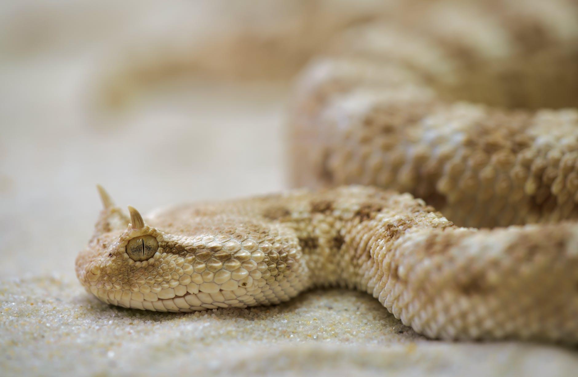 Serpiente crotalo