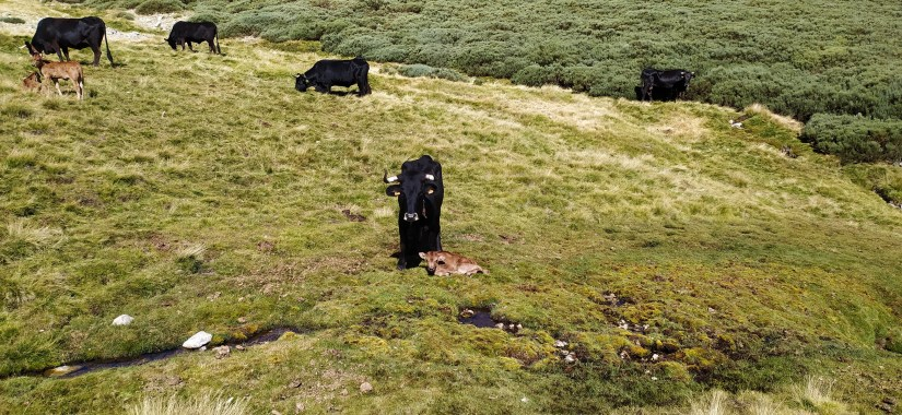 Vacas de Gredos