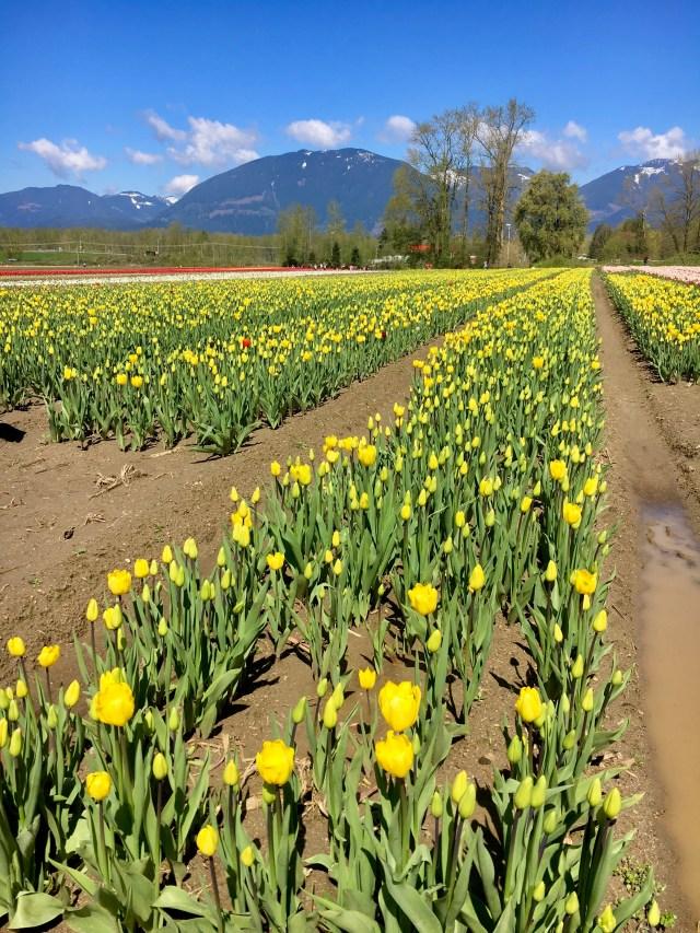chilliwack tulip fest