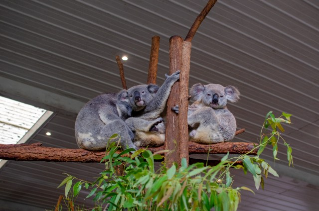 Three koalas sitting on perch, one sleep on another one, and two looking at the camera