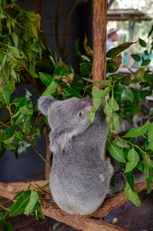 Koala with body facing away, hanging from branch with its head tilted to the side and leaning back