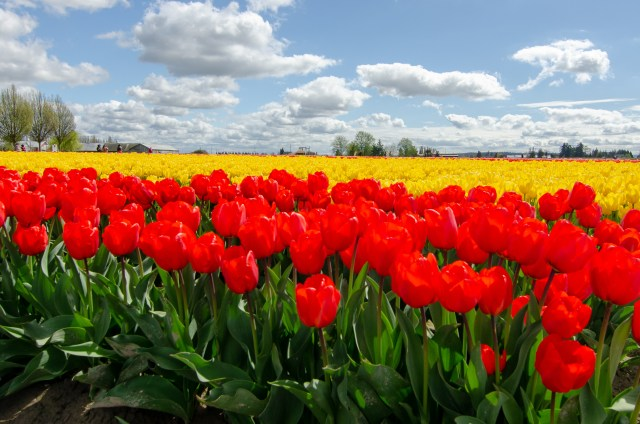 Red tulips in front of a sea of yellow tulips