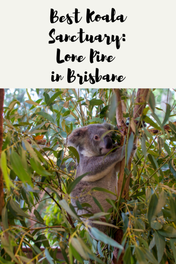 "Koala in a tree with text ""Best Koala Sanctuary: Lone Pine in Brisbane"