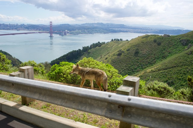A coyote walks on the other side of the highway barrier, with hills, San Francisco Bay and Golden Gate Bridge in the background