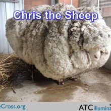 Chris the Sheep