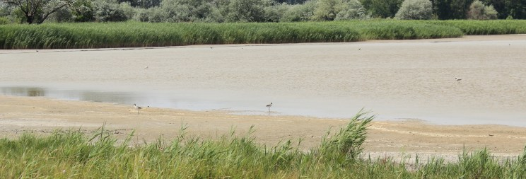 Pic or didn't happened! Some pied avocets walking on the shore. Too bad that I don't have any better zoom in my camera.