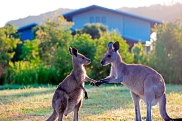 KangarooShakeHandsJona