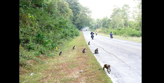 Wild Monkeys Leave Their Habitat In Search For Food