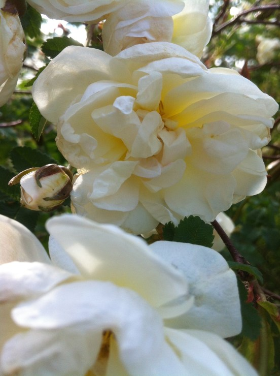 vita pimpinellrosor i miin trädgård