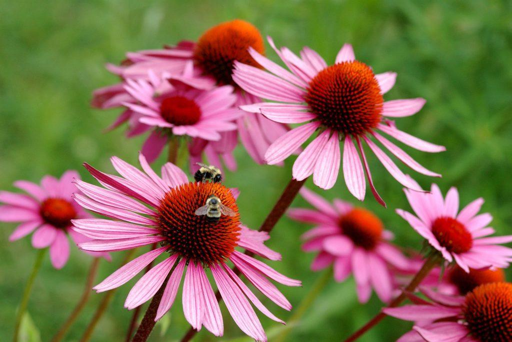Целебные свойства эхинацеи и собранного с нее пчелами меда