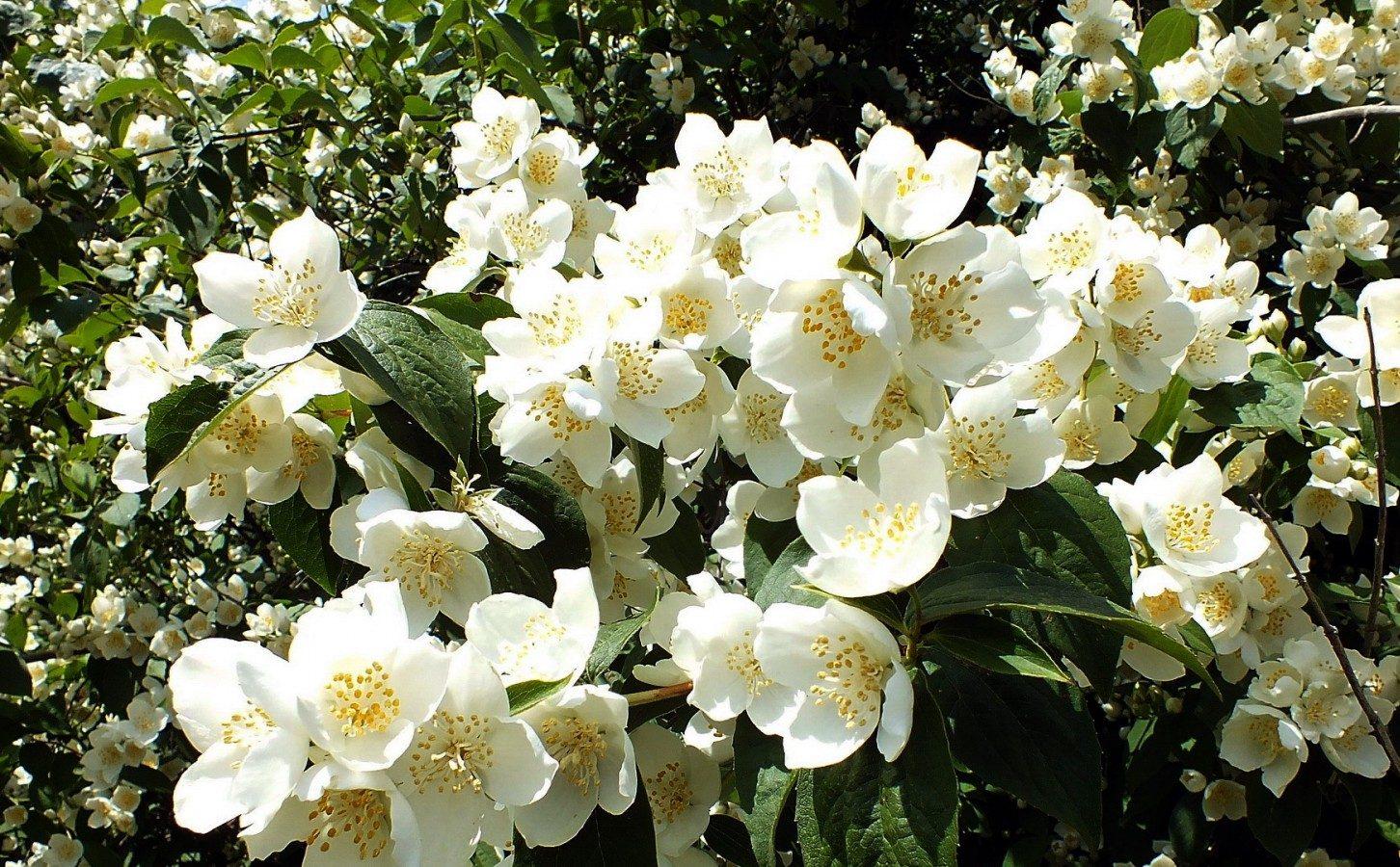 Цветки жасмина купить москва, юбилеем фото букеты