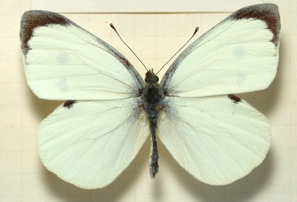 Что ест бабочка капустница. Капустная белянка: основные методы борьбы. Народные средства и рецепты