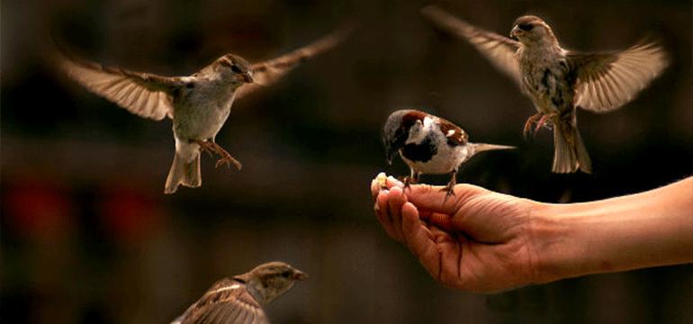 På billedet sidder der en fugl på en hånd, mens andre fugle flyver rundt om