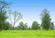 tea garden in kishanganj
