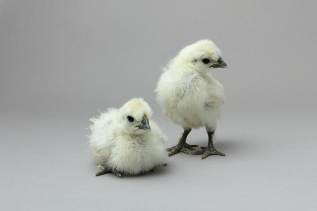 烏骨鶏の卵を食べてみようじゃないか! その② 幼雛14日齢まで。