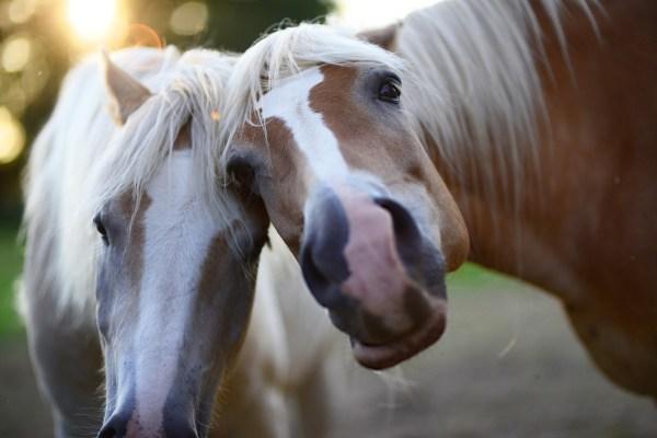 Новогодние елки станут лакомством для лошадей в Ессентуках ...