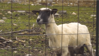 Screaming Goat