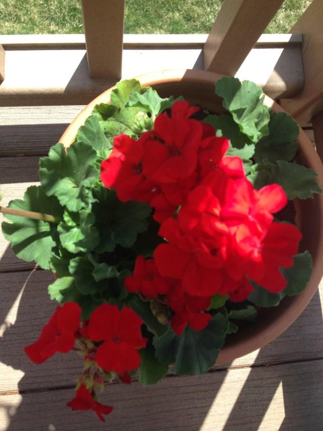 Geranium one in the pot