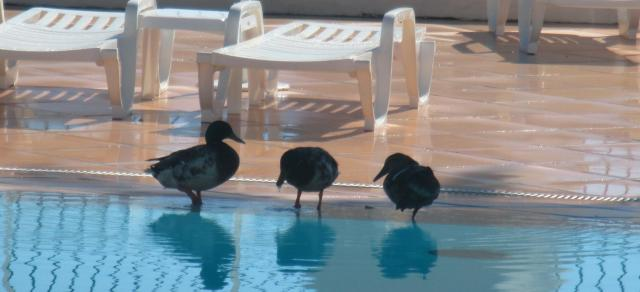 Theoule. Pool. Ducks.