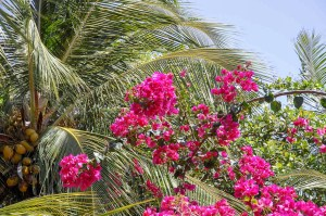 Bouganvillia in Atins