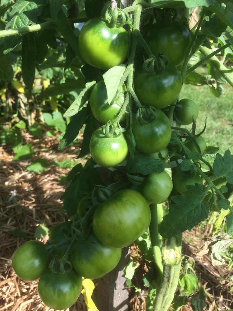 Diversifier les variétés de tomates