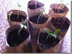 Pots en papier journal avec jeune  semis