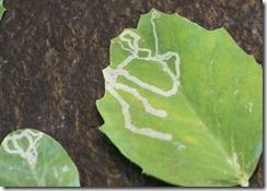 feuilles de pois atteinte de mineuses