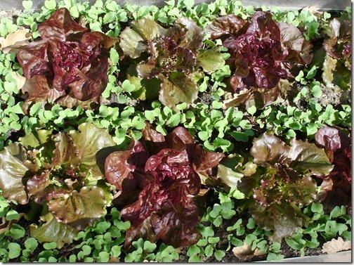 salade + radis