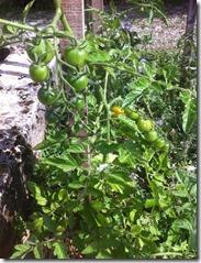 tomate greffé