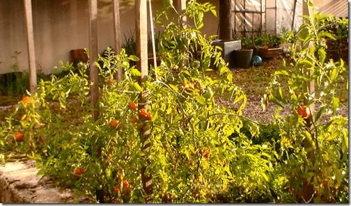 carré de tomates