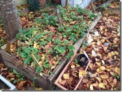 carré de fraises envahit de feuilles mortes