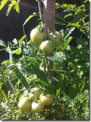 tomates en train de murir