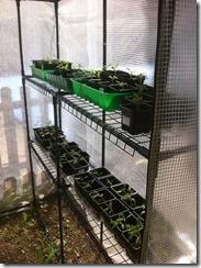 semis de tomate sous serre