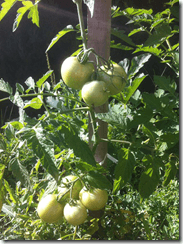 pied de tomate