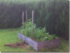 carré après semis d'engrais vert