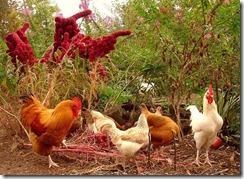 des poules au jardin