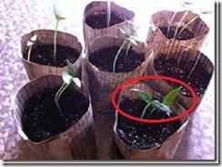 Dicotylédones sur poivrons