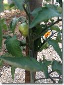 première tomates