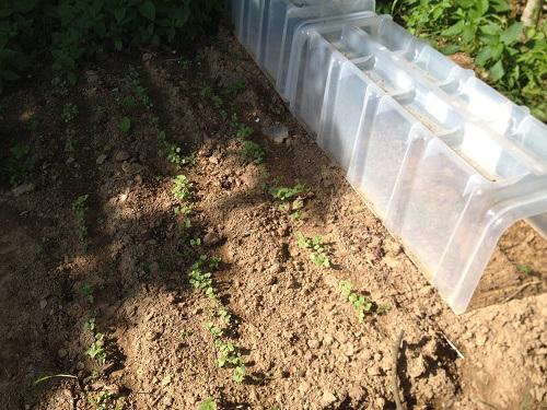 semis de carotte radis et panais en permaculture