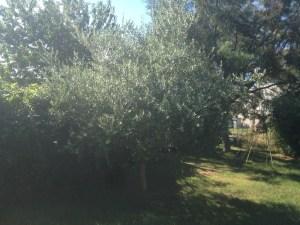 olivier au potager