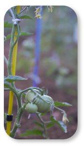 De belles tomates au potager par Michel Vernet du site Tenrev