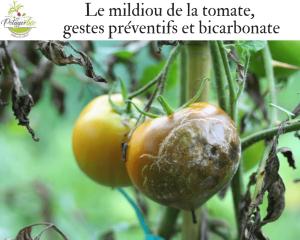 Comment lutter contre le mildiou des tomates
