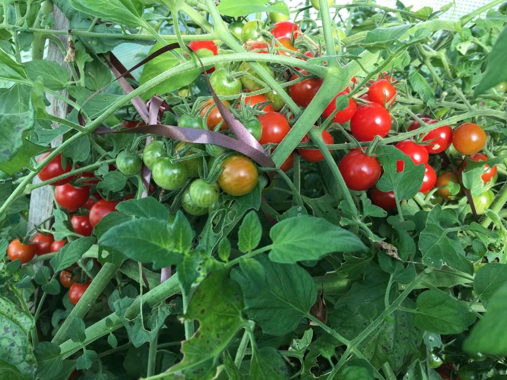 Comment lutter contre le mildiou des tomates naturellement