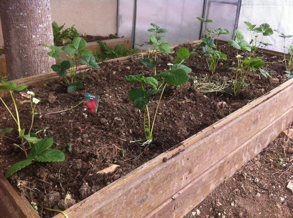 faire pousser des fraisiers remontants